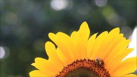 Manosee la abeja en el girasol almacen de metraje de vídeo