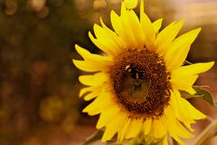 Manosee la abeja en el girasol en invernadero islandés Imágenes de archivo libres de regalías