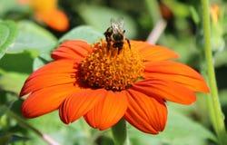 Manosee la abeja en el girasol mexicano Fotografía de archivo