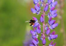 Manosee la abeja en el Lupine azul que recoge el néctar Imágenes de archivo libres de regalías