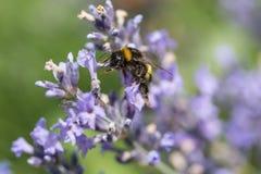 Manosee la abeja en el movimiento en el primer de la flor de la lavanda Fotos de archivo libres de regalías