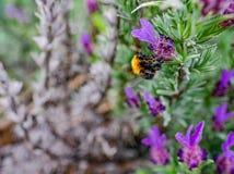 Manosee la abeja en el primer de la flor de la lavanda Fotos de archivo