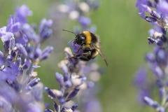 Manosee la abeja en el primer de la flor de la lavanda Fotos de archivo libres de regalías