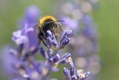 Manosee la abeja en el primer de la flor de la lavanda Imágenes de archivo libres de regalías