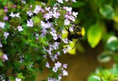 Manosee la abeja en el tomillo de arrastramiento Imagen de archivo libre de regalías