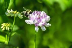 Manosee la abeja en el trébol púrpura Fotografía de archivo