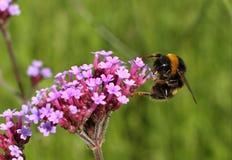 Manosee la abeja en el trabajo Fotografía de archivo libre de regalías