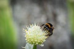 Manosee la abeja en la flor Fotografía de archivo