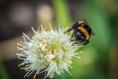 Manosee la abeja en la flor Imagen de archivo libre de regalías