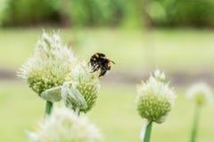 Manosee la abeja en la flor Imagen de archivo