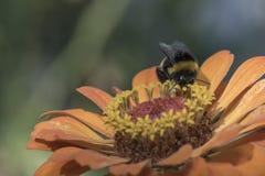 Manosee la abeja en la flor Fotos de archivo libres de regalías