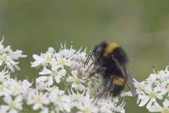 Manosee la abeja en la flor blanca Imágenes de archivo libres de regalías