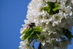 Manosee la abeja en flor de cerezo Fotografía de archivo
