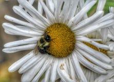 Manosee la abeja en flor de la margarita Fotografía de archivo
