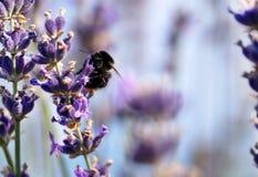 Manosee la abeja en flor de la lavanda Imágenes de archivo libres de regalías