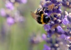 Manosee la abeja en flor de la lavanda Imagen de archivo