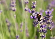 Manosee la abeja en flor de la lavanda Imagenes de archivo
