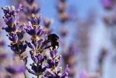 Manosee la abeja en flor de la lavanda Fotos de archivo libres de regalías