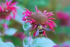 Manosee la abeja en la flor de muerte imágenes de archivo libres de regalías