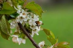 Manosee la abeja en flor de la primavera Imagen de archivo libre de regalías
