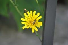 Manosee la abeja en flor del diente de león Imagen de archivo