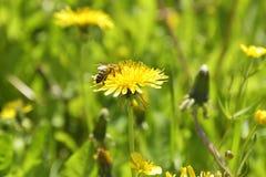 Manosee la abeja en la flor del diente de león en primavera Recogida del néctar Imagen de archivo libre de regalías