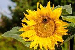 Manosee la abeja en la flor del girasol Imagen de archivo libre de regalías