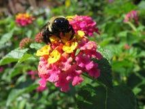 Manosee la abeja en la flor del Lantana Imagen de archivo libre de regalías