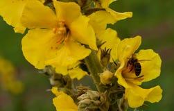 Manosee la abeja en la flor del resorte Foto de archivo