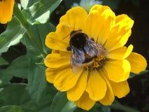 Manosee la abeja en la flor del resorte Imagenes de archivo
