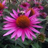 Manosee la abeja - en la flor fucsia rosada del cono con el centro anaranjado - la flor del cono - Imágenes de archivo libres de regalías