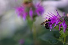 Manosee la abeja en la flor púrpura del bálsamo de abejas Imágenes de archivo libres de regalías