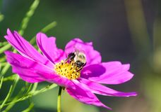Manosee la abeja en la flor púrpura del cosmos Foto de archivo libre de regalías