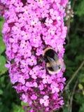 Manosee la abeja en la flor rosada imagen de archivo libre de regalías
