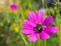 Manosee la abeja en la flor rosada brillante en el jardín de la colina de la onda Foto de archivo