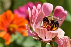 Manosee la abeja en flores Imagen de archivo