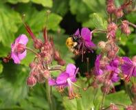 Manosee la abeja en geranio púrpura Imagenes de archivo
