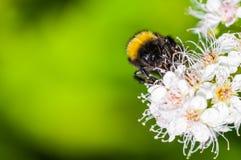 Manosee la abeja en junio Foto de archivo libre de regalías