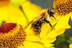 Manosee la abeja en la flor Foto de archivo libre de regalías