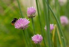Manosee la abeja en la flor Imagenes de archivo