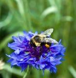 Manosee la abeja en la flor Fotografía de archivo libre de regalías