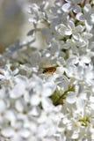 Manosee la abeja en la flor Foto de archivo