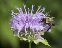 Manosee la abeja en la flor Fotos de archivo