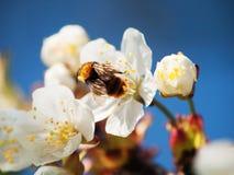 Manosee la abeja en la flor amarilla Imagen de archivo