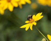 Manosee la abeja en la flor amarilla Foto de archivo