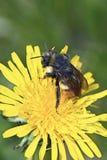 Manosee la abeja en la flor amarilla Fotos de archivo libres de regalías