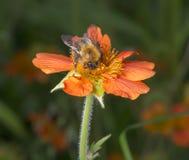 Manosee la abeja en la flor anaranjada Fotografía de archivo libre de regalías