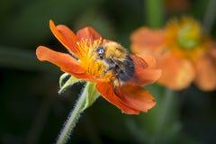 Manosee la abeja en la flor anaranjada Imágenes de archivo libres de regalías