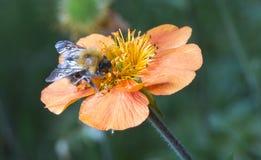 Manosee la abeja en la flor anaranjada Fotografía de archivo