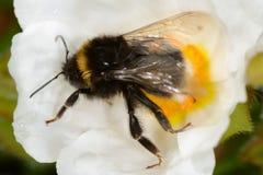 Manosee la abeja en la flor blanca Fotos de archivo libres de regalías